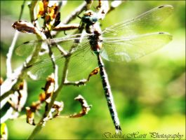 Dragonfly by photographygirl13