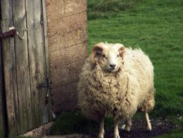 Beautiful Sheep by Jaybzieh