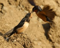 Bank Swallow Chick being fed 2 by natureguy