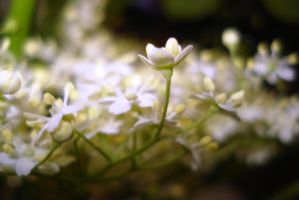 white flowers by Polin-Sam