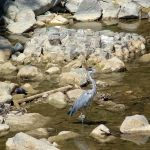 Heron by Loony-Lucy