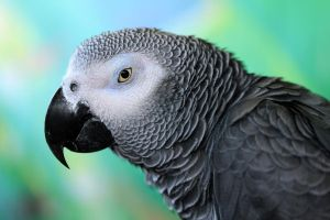 African Grey Profile by Souzay