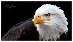 bald eagle portrait by PhotographyChris