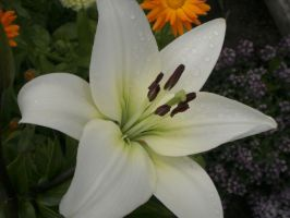 white lily morning dew by lordelementus