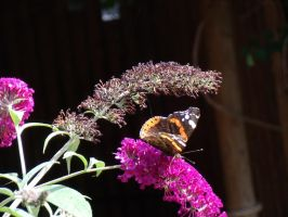 Red Admiral butterfly by BMFMhero1991
