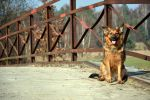dog on the bridge by fot-ciosek