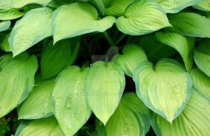 Hosta I by Nitersss