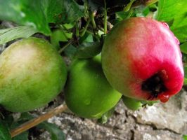 Apples by D1scipl31974