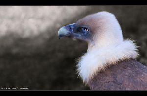 Portrait of Griffon Vulture by AkitaInu