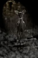 Deer in the Rain by catspaw13