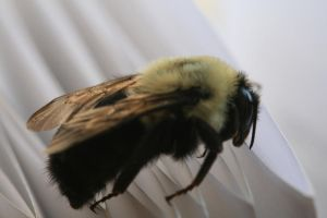Bumble Bee - Macro by Maeve09