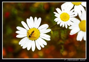 daisies visitor by bracketting94