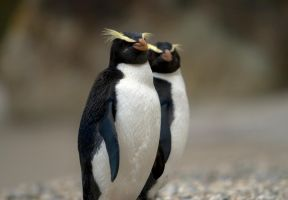 Fiordland Crested Penguin by jeef3