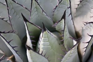 Agave by thordi