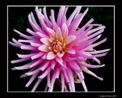 Pink Dahlia by javv556