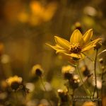 Yellow at Sunset by Karl-B