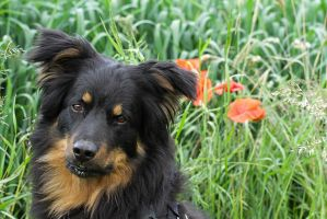 Old German Herding Dog by LuDa-Stock