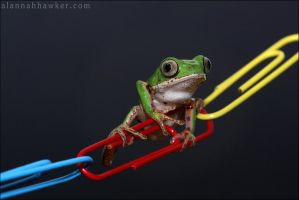 Tiger Legged Monkey Tree Frog by Alannah-Hawker