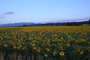 Sunflowers field before the sunrise by A1Z2E3R