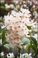 White and red flowers... by TuxXtreme
