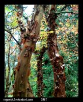 Acer griseum Pax by Rayashi