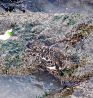 sea front rocks ,with bird ,turnstone ,we think,, by Sceptre63