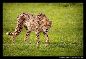 Stalking Cheetah by TVD-Photography