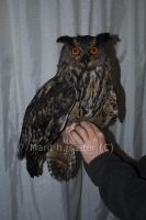 Eagle owl 1 by Epic-stock