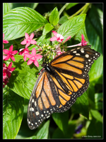 Monarch Butterfly by Mogrianne