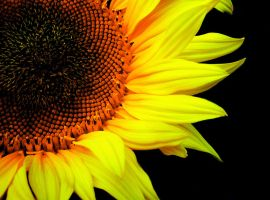 helianthus annuus by q3ani