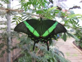 Emerald Swallowtail by death-pengwin