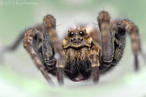 Alopecosa wolf spider by Dark-Raptor