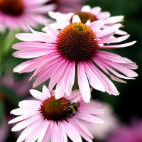 This Aster Bee Favoured by aegiandyad