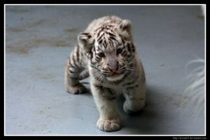 Curious White Tiger Cub by Arwen91