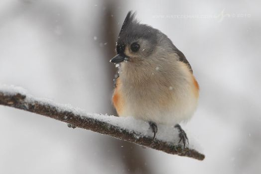 Tufted Titmouse by Nate-Zeman