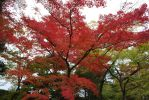 Japanese Red Maple by secede0