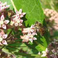Honey bee by Critterinthedryer