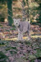 Lynx, Pforzheim VIII by FGW-Photography