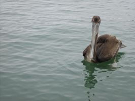 Hairy the Pelican by citreneowl