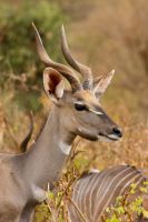 Lesser Kudu by DeviantTeddine
