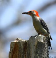 afternoon woodpecker by natureguy