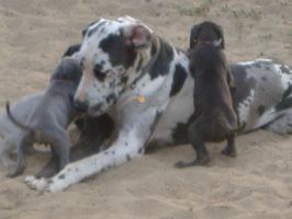 Great Danes Playing by sgnsgs