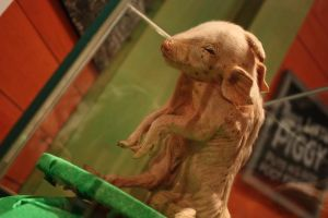 Ripley's: Pig by KW-stock