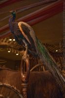 Museum : Victorian Peacock 01 by taeliac-stock