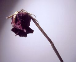 Dead rose by Alicss