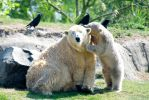 Polar Bears - Mother Love! by Frangster