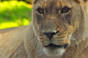 African Lion 6783 by robbobert