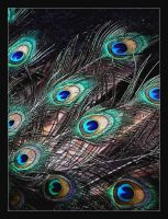 pavo in full colours by erlebnis