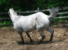 Appaloosa 64 by Spotstock
