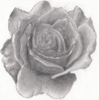 Rose Pencil Drawing by Sephtis